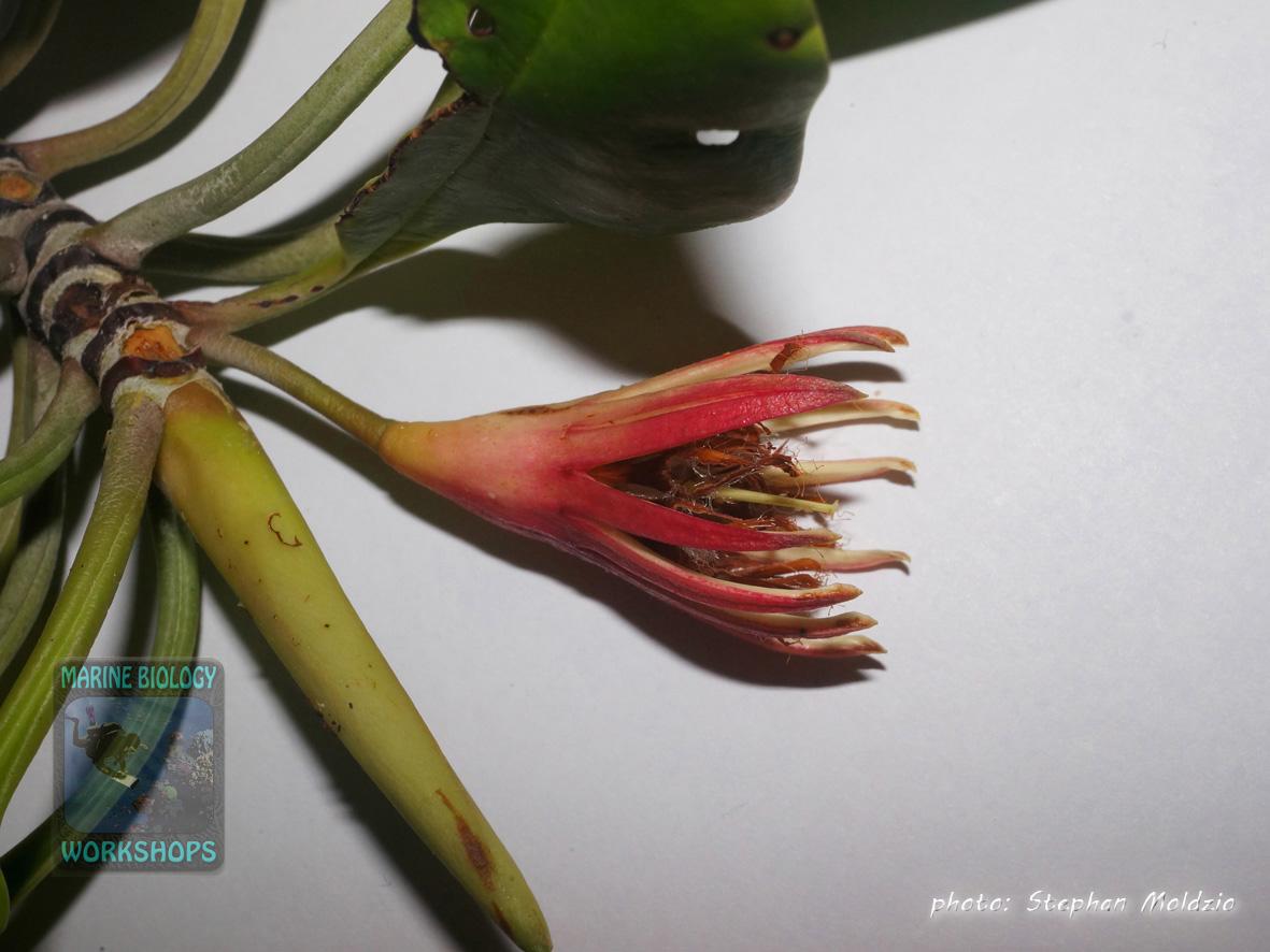 DSC02081-flower-Bruguiera-gymnorhiza