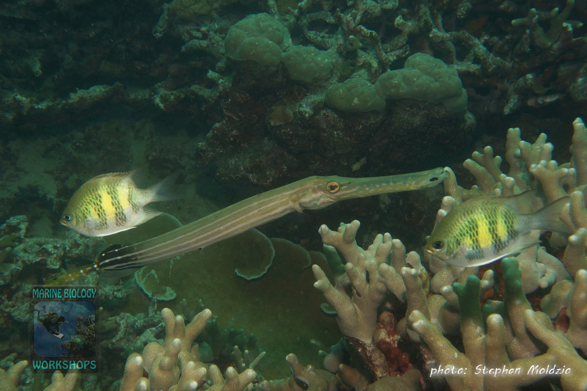 DSC06681-Aulostomus-chinensis