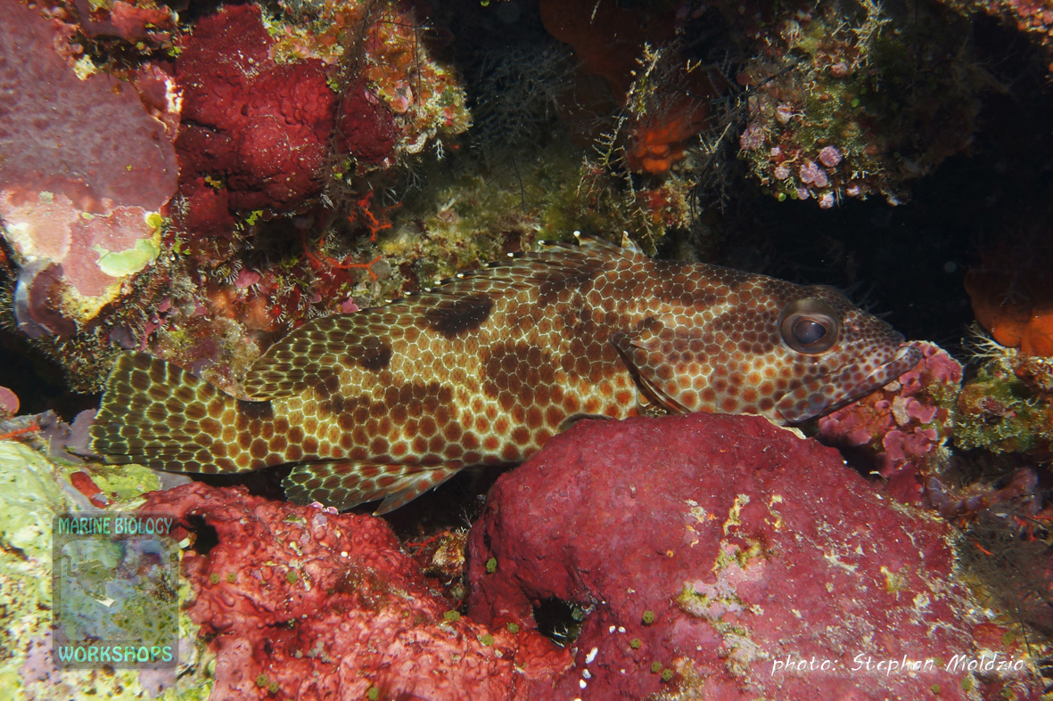DSC06806-Epinephelus-hexagonatus