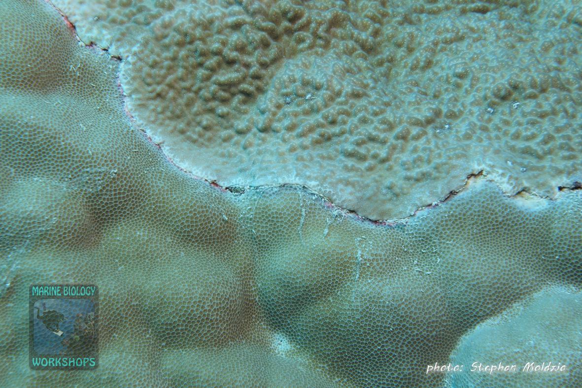 DSC07004-Porites-spp.