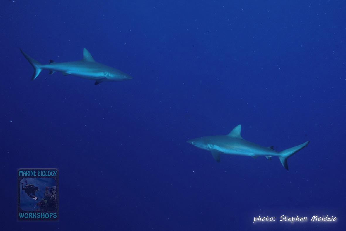 DSC07481-Carcharhinus-amblyrhynchos