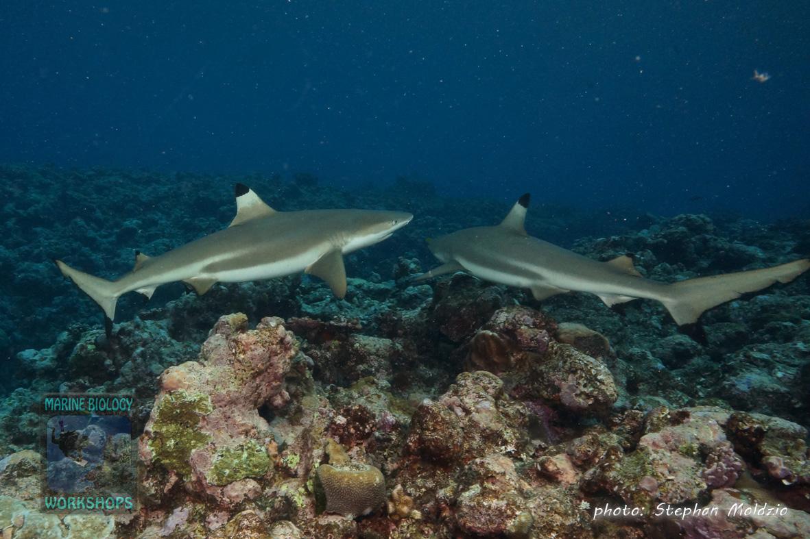 DSC07570-Carcharhinus-melanopterus