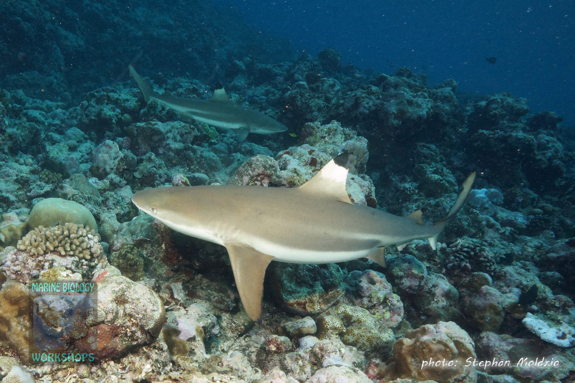 DSC07571-Carcharhinus-melanopterus