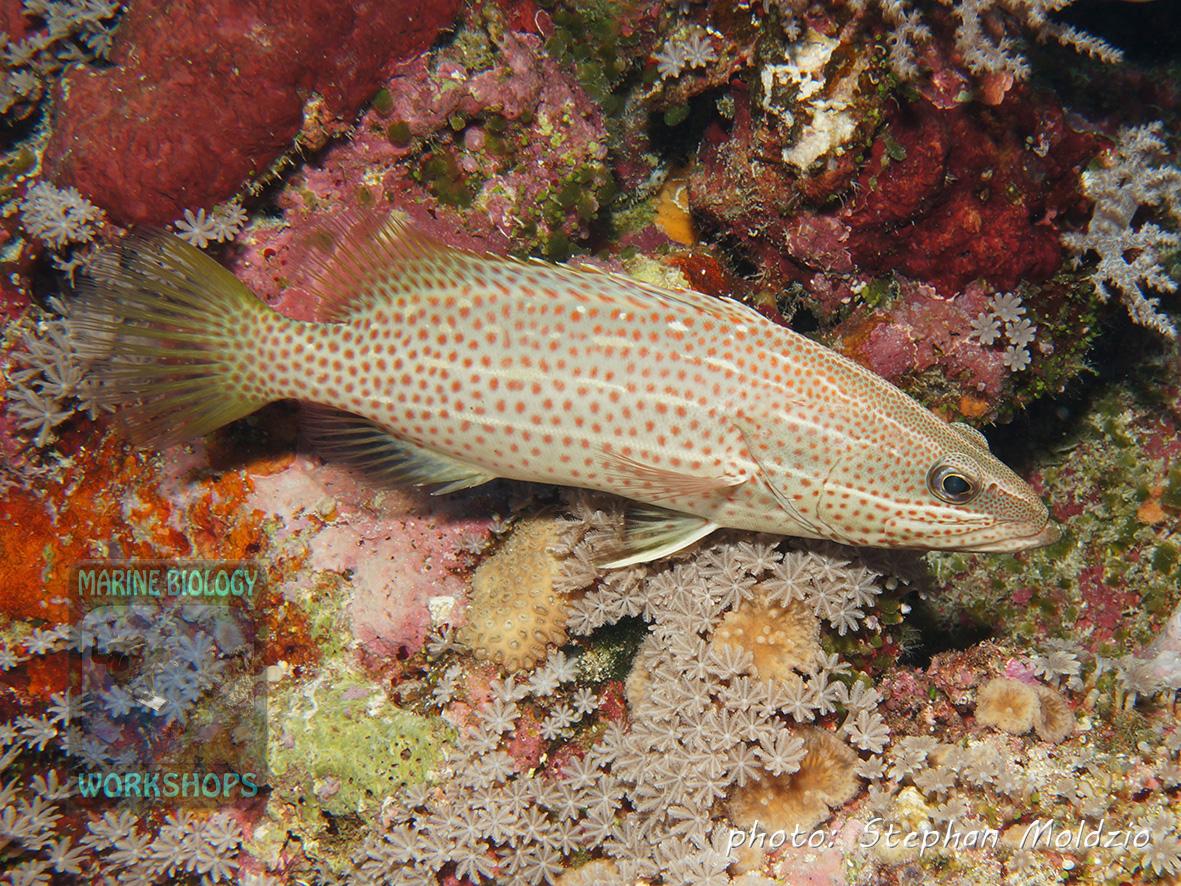 Slender grouper (Anyperodon leucogrammicus)