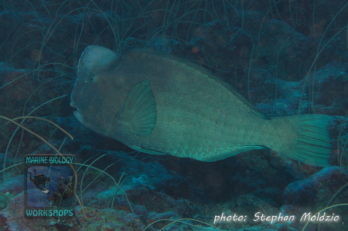 The Bumphead parrotfish (Bolbometopon muricatum ) is the biggest species of parrotfish