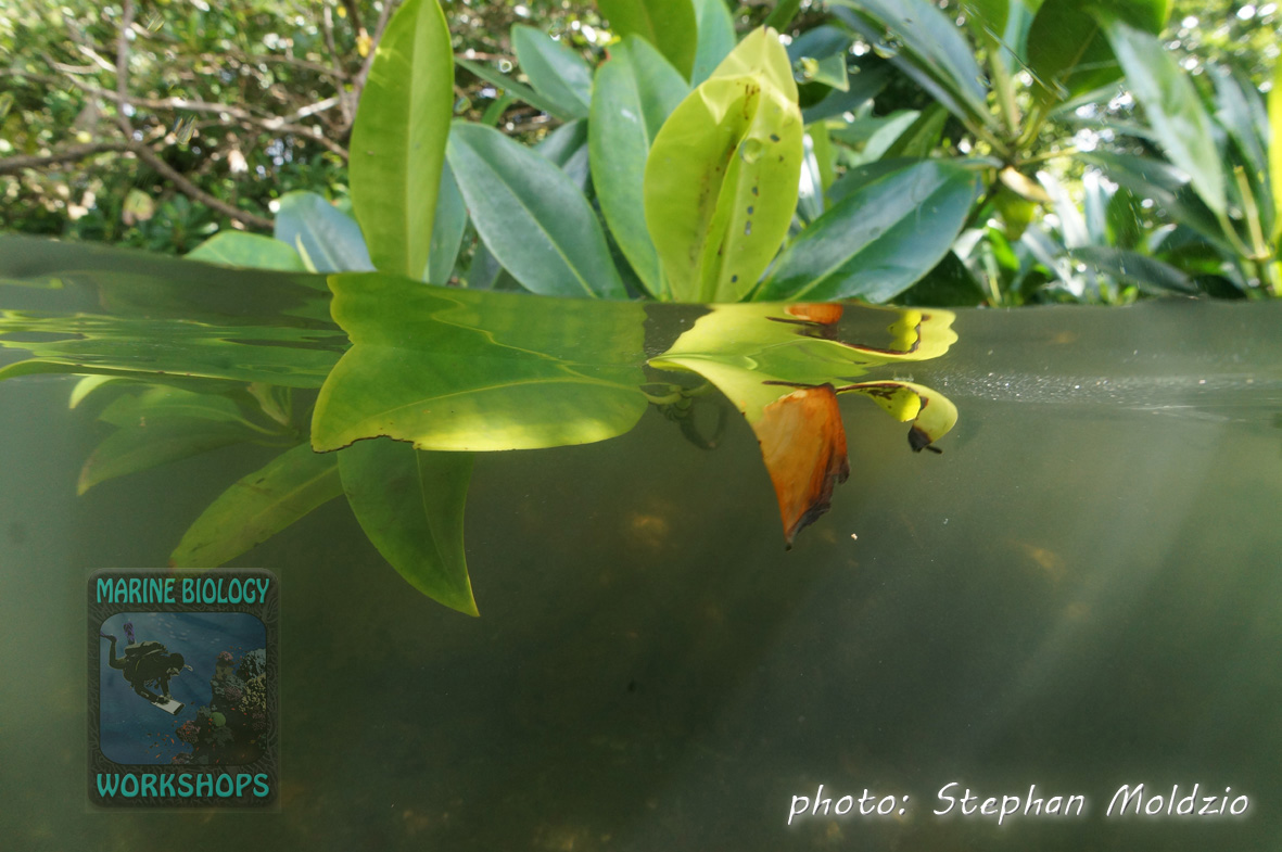 Mangroves (Rhizophora sp.)