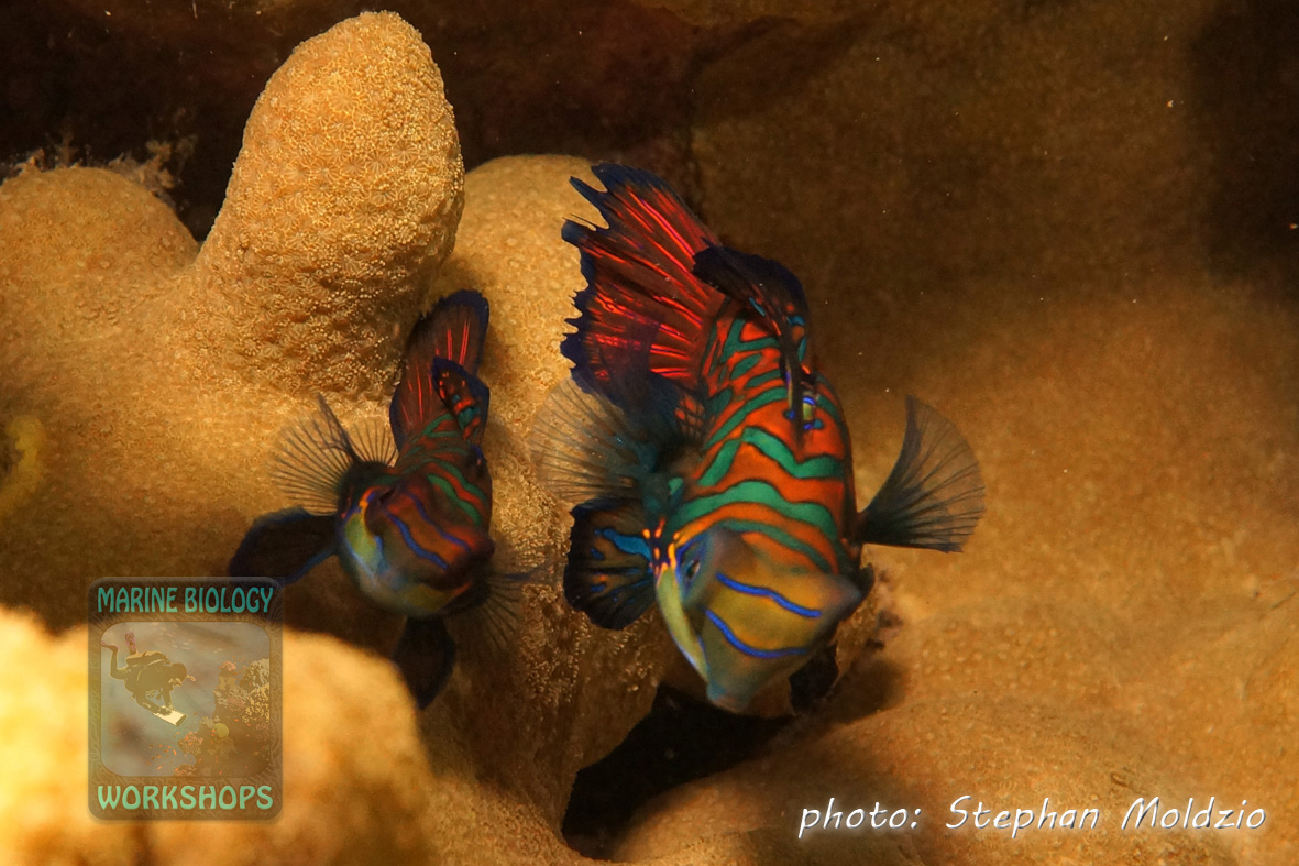 "Mating Mandarin fish (Synchiropus splendidus) at ""Rainbow Reef"" during dusk"