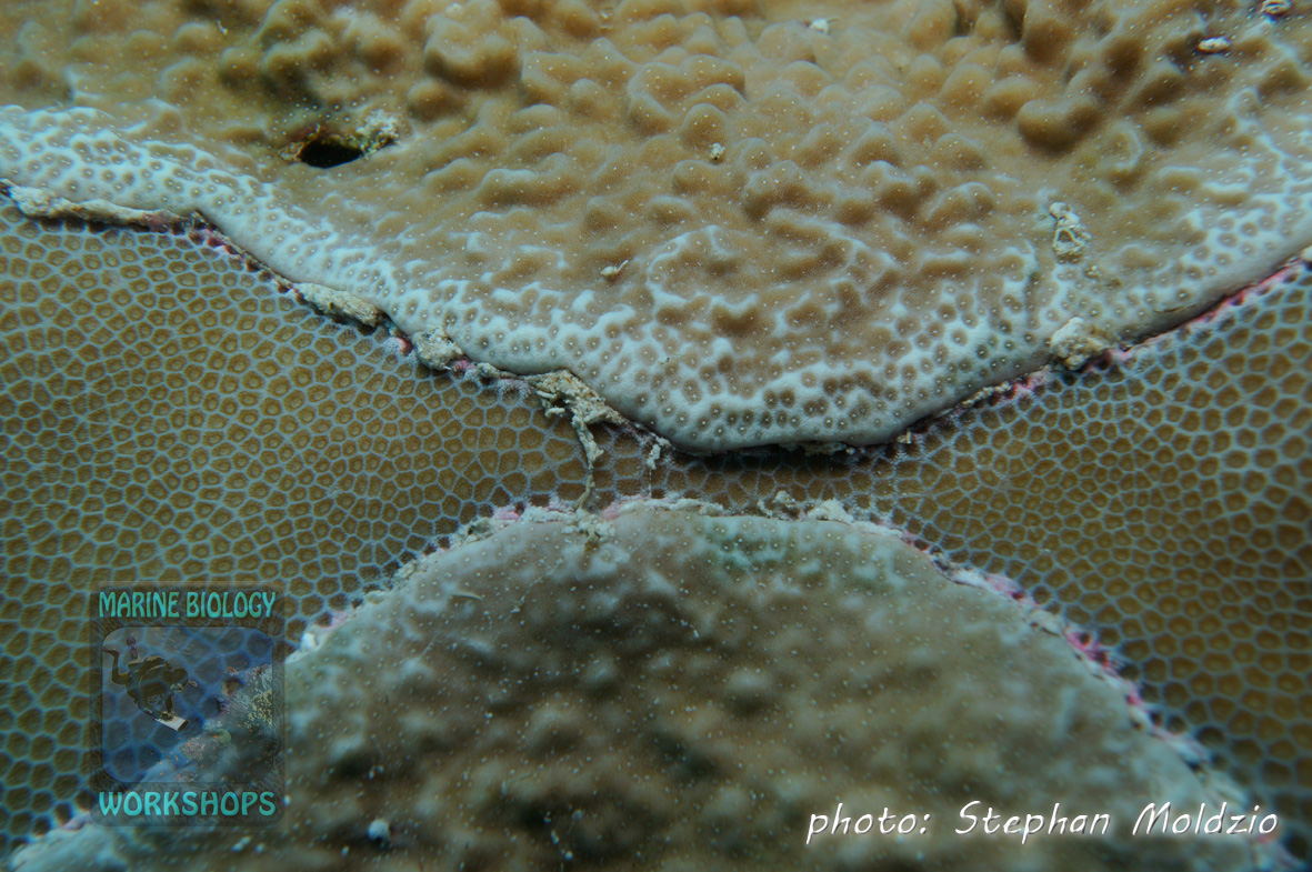 Coral competition: A Montipora sp. is overgrowing a Porites