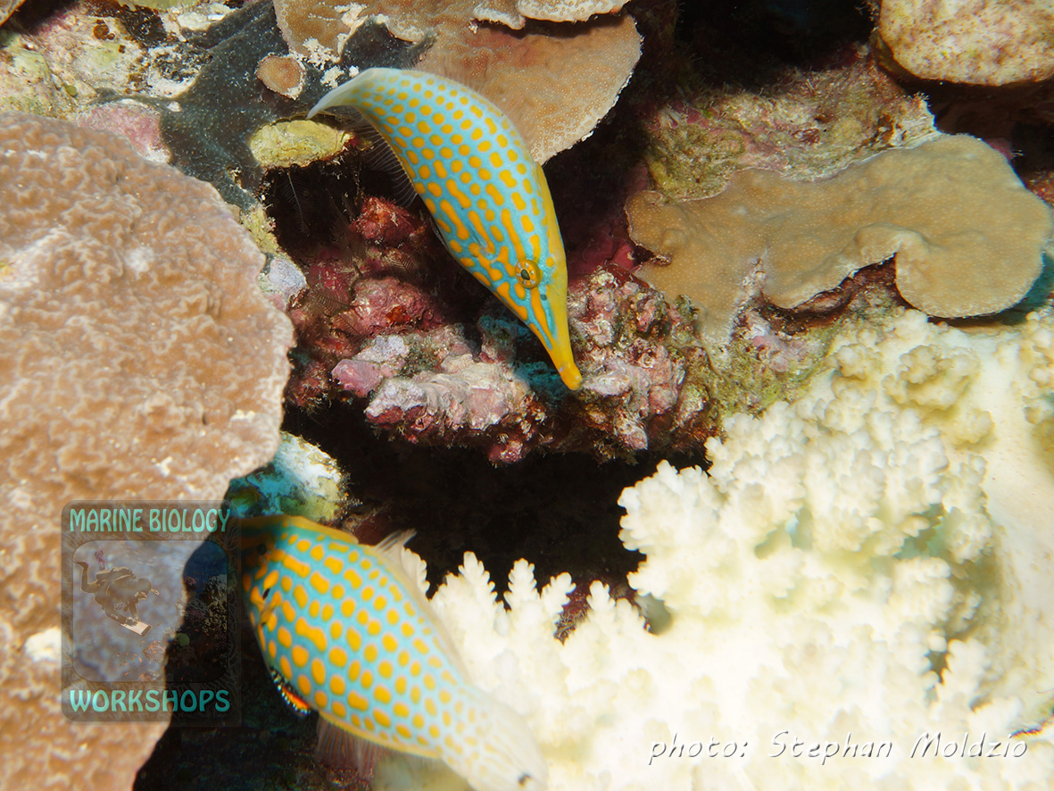 The Harlequin filefish (Oxymonacanthus longirostris) feeds on live coral