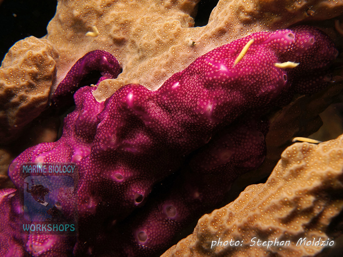 A Colonial sea squirt (Polysyncraton sp.) competes with a Porites coral for space.