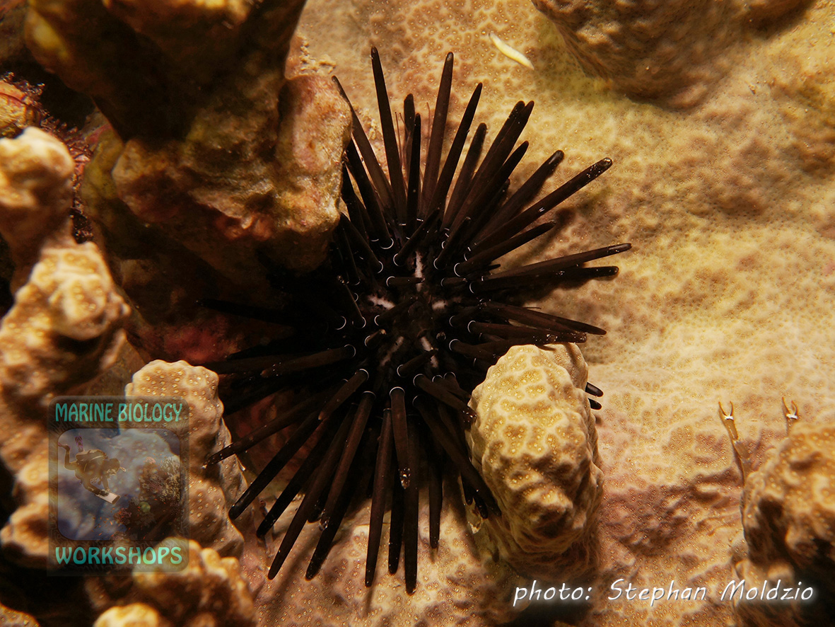 Burrowing urchin (Echinometra mathaei) on a Porites block coral