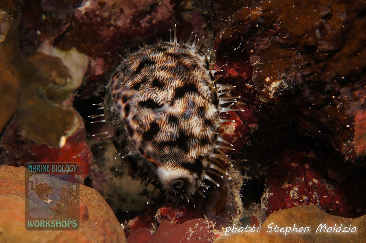A Tiger Kaurie (Cypraea tigris) at night