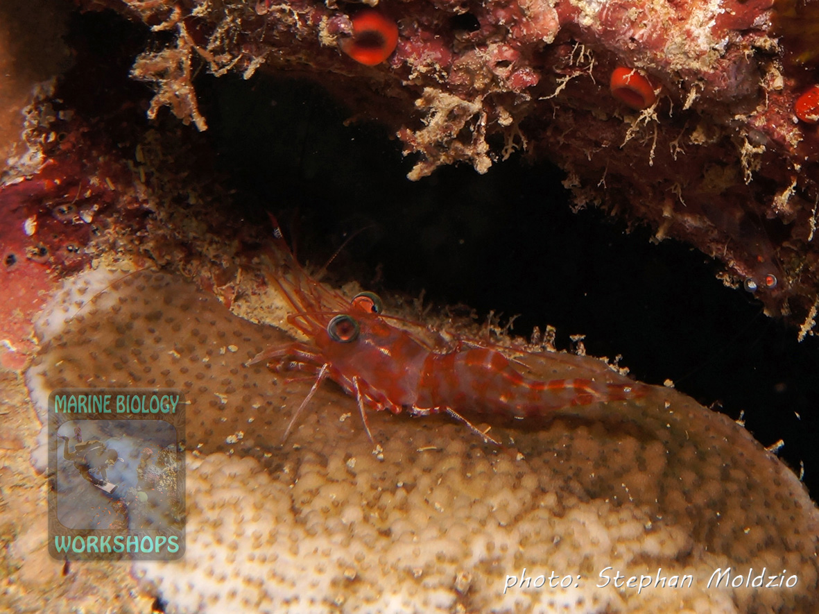 Henderson´s hinge-beak shrimp (Cinetorhynchus hendersoni) come out of the crevasses at night