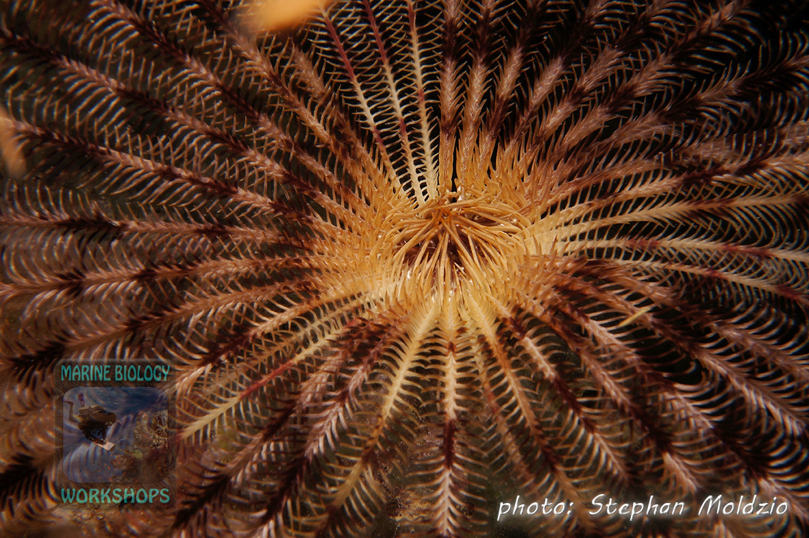 Feather star (Comatulida) creep out on exposed places at night to feed on plankton