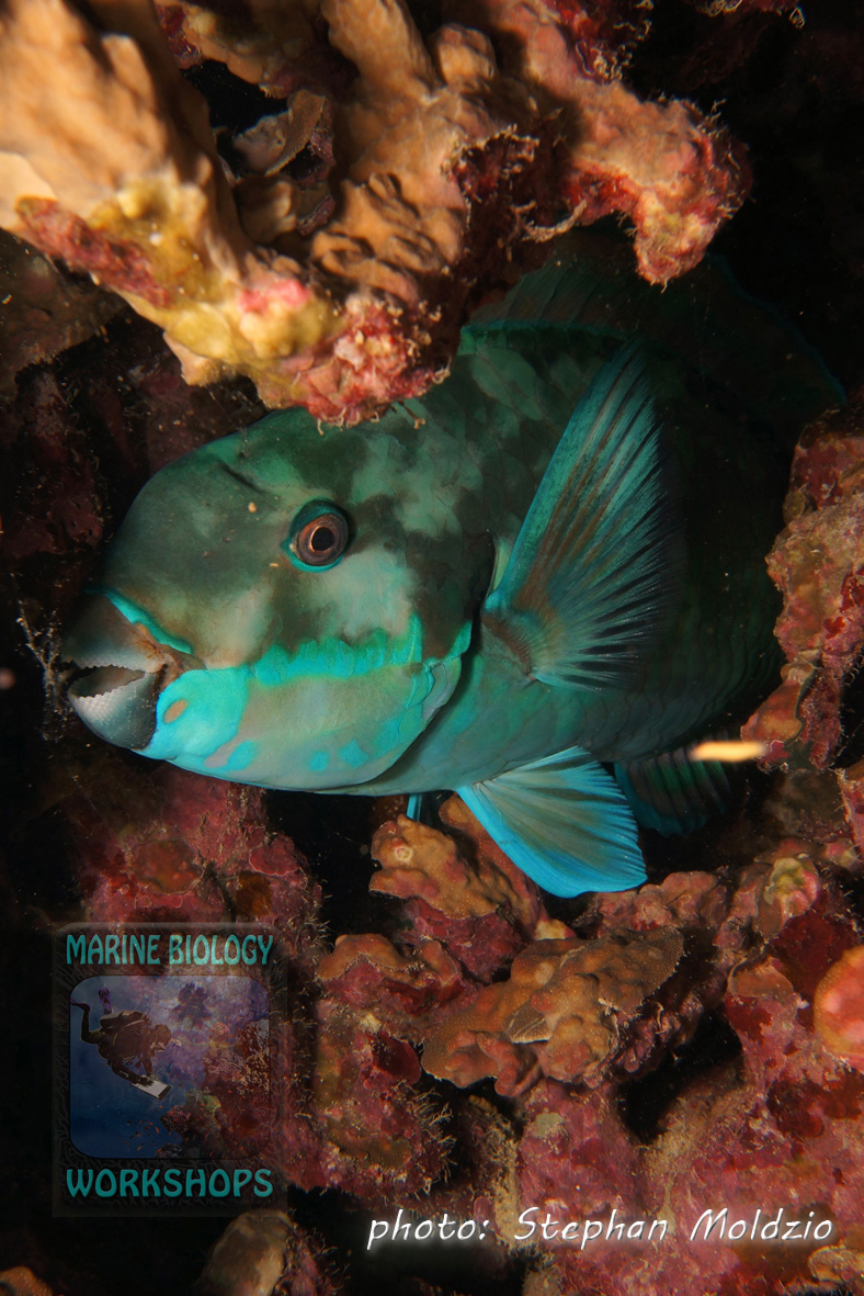 Sleeping parrotfish in mucus cocoon