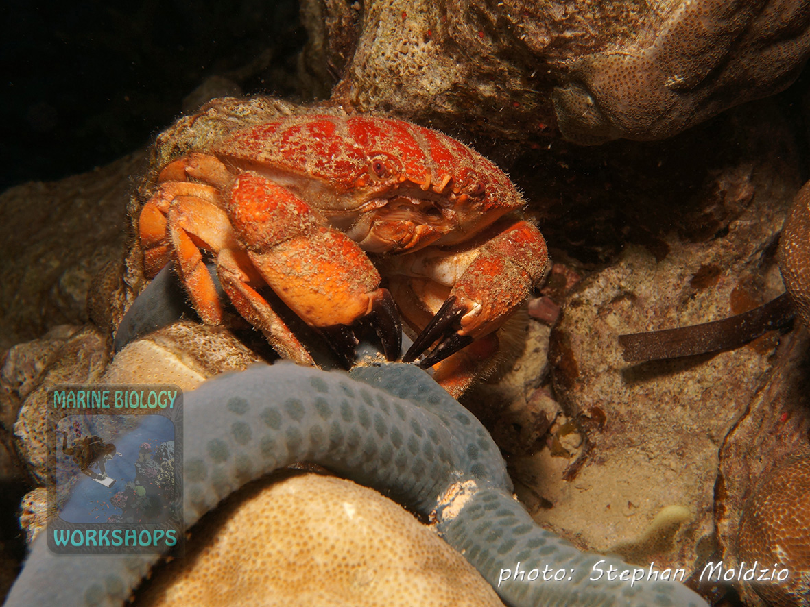 A Splendid round crab (Etisus splendidus) is just busy to pinch off an arm of a Blue sea star (Linckia laevigata)