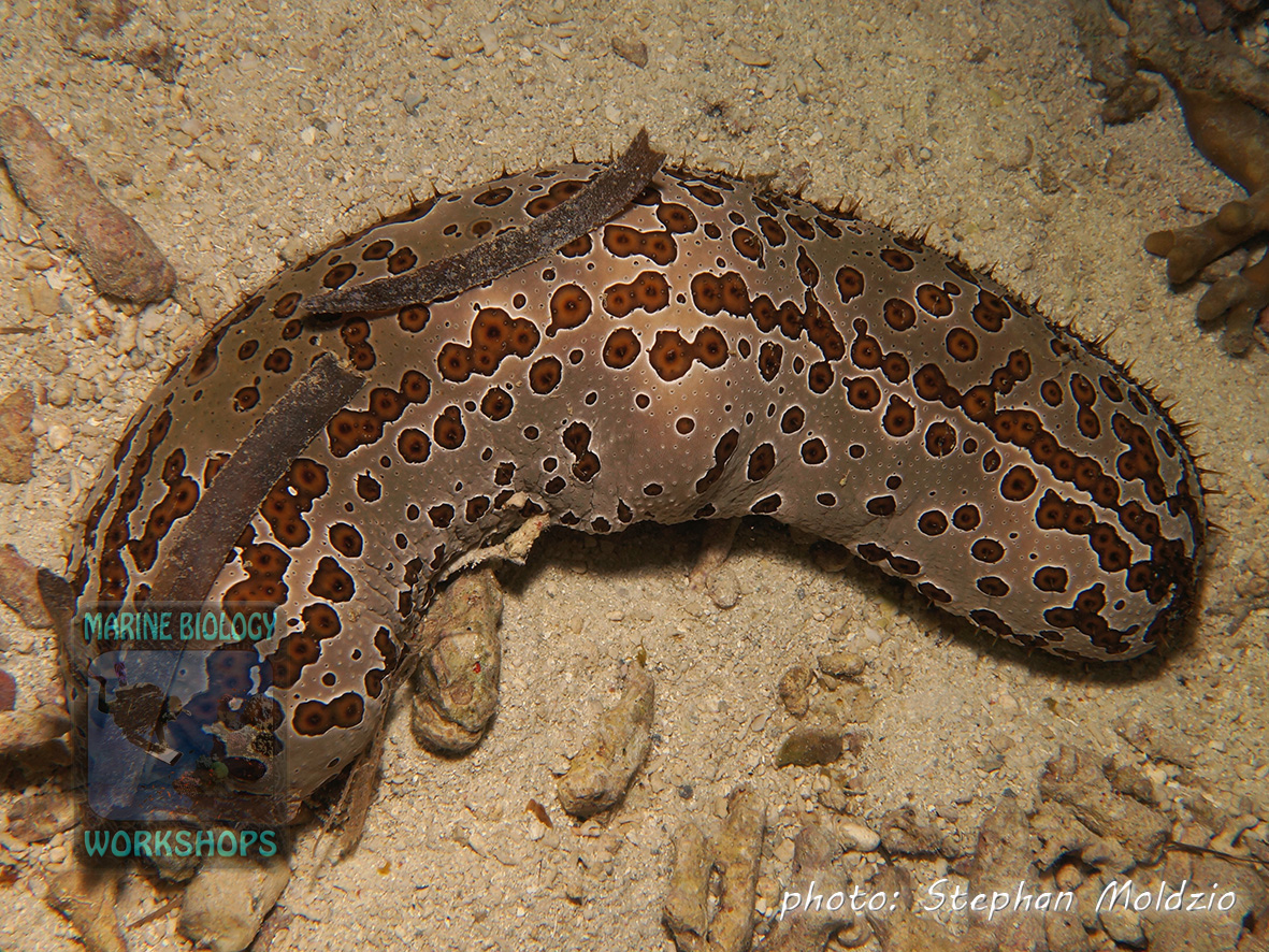 Leopard sea cucumber (Bohadschia argus) camouflaged with seagrass leaves