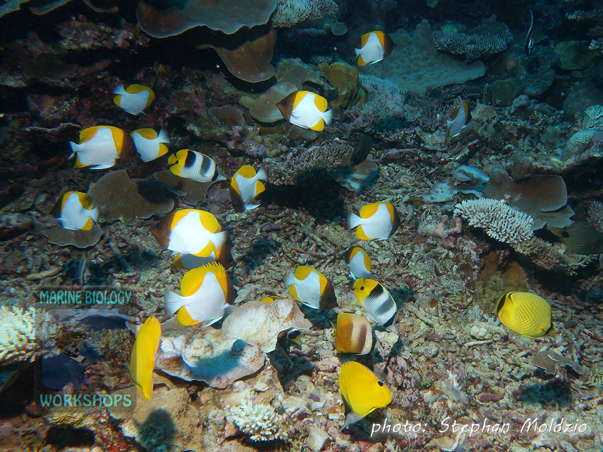 Five species of butterfly fishes