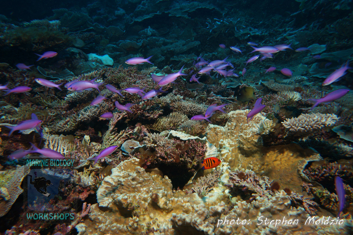 "Amethyst Anthias (Pseudanthias pascalus) at ""Magic Kingdom"""