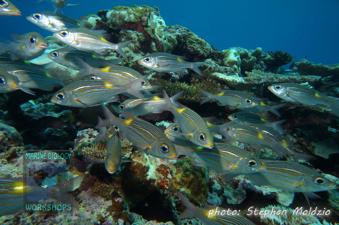 "Striped large-eye breams (Gnathodentex aureolineatus) at ""Vertigo"""