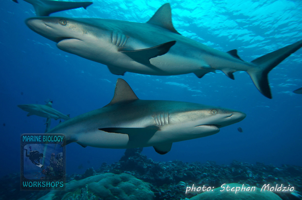 "Grey Reef Sharks (Carcharhinus amblyrhynchos) at ""Vertigo"""