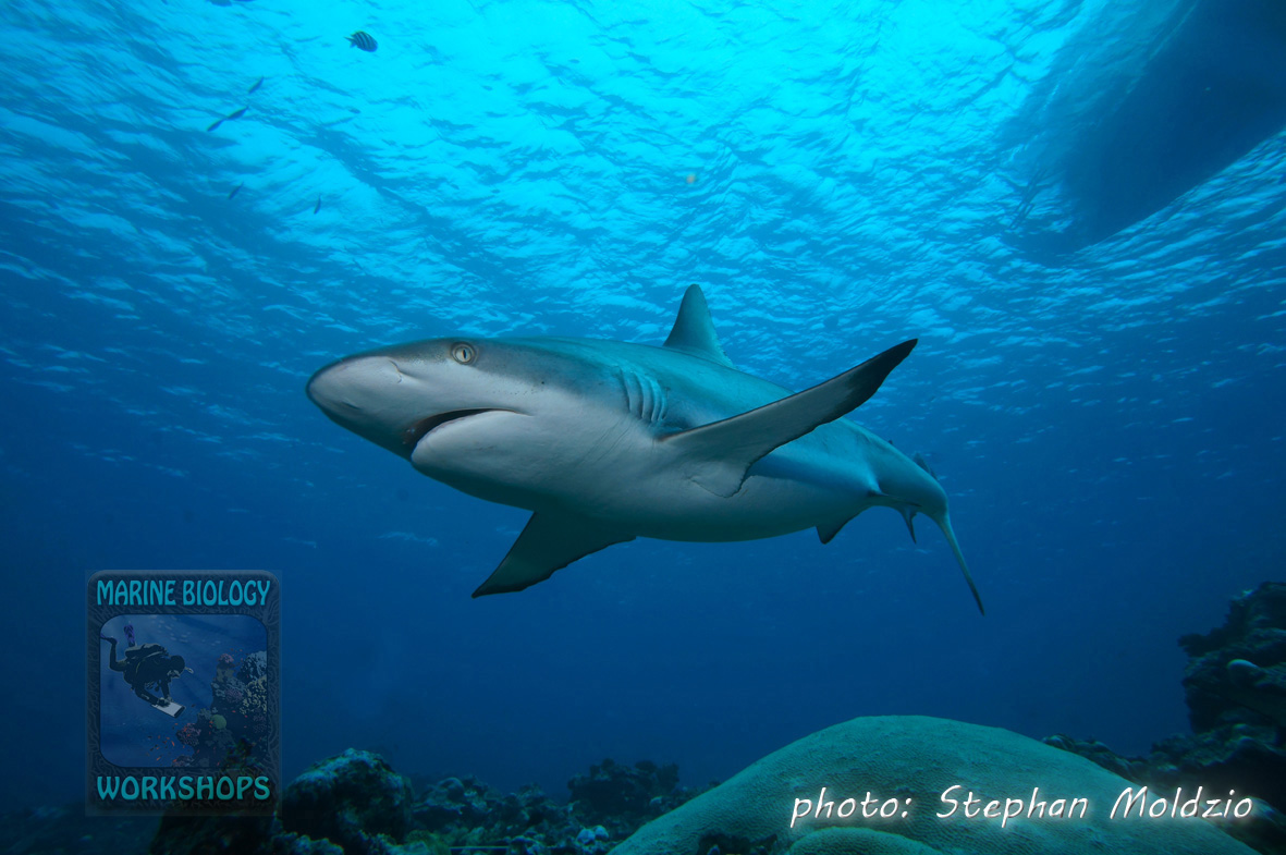"Grey Reef Shark at dive site ""Vertigo"""