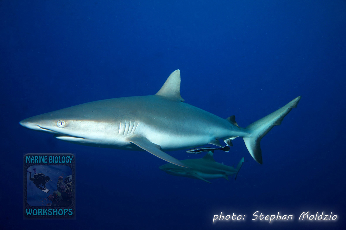 Grey Reef Shark with a Sharksucker. It accidentally (?) jumped over to a Blacktip Reefshark and back at the next opportunity…