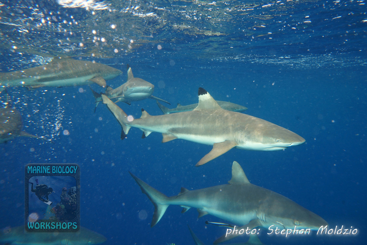 "Blacktip reef sharks (Carcharhinus melanopterus) and Grey reef sharks (Carcharhinus amblyrhynchos) at ""Vertigo"""