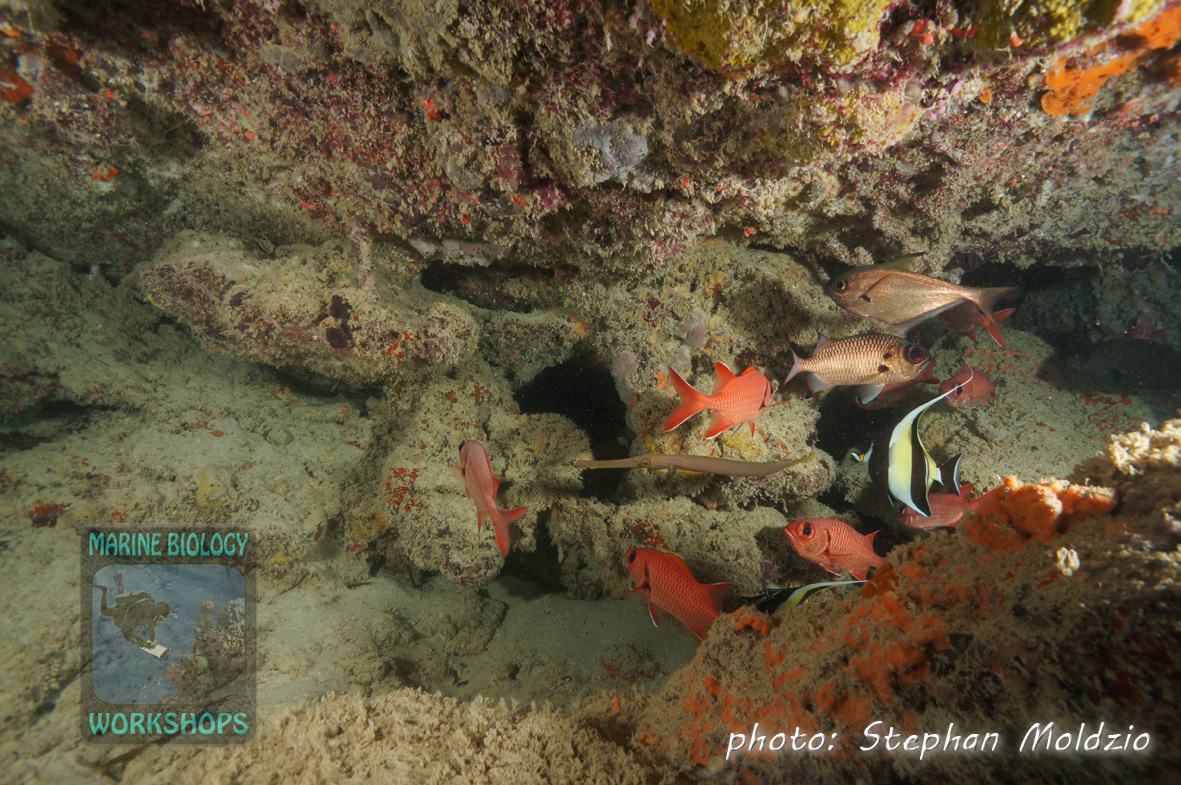 Life in the cave; center: Chinese trumpetfish (Aulostomus chinensis)