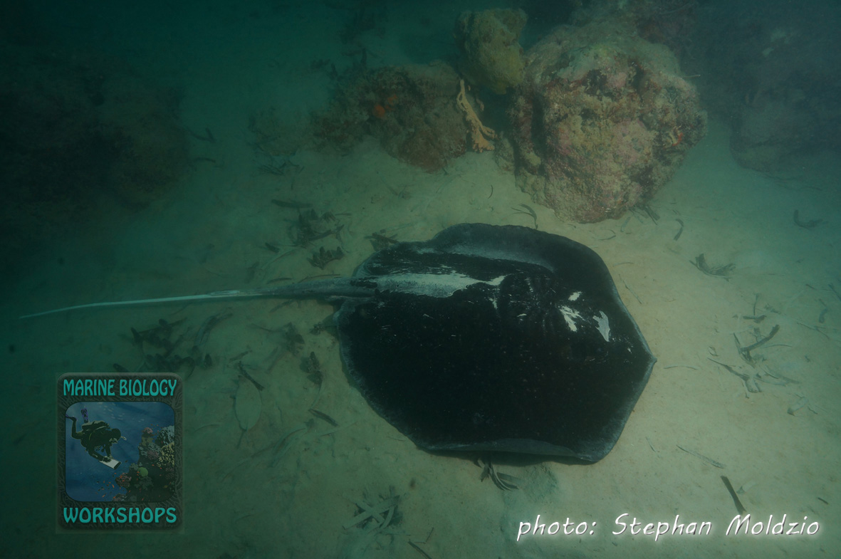 Stingray (Himantura granulata)