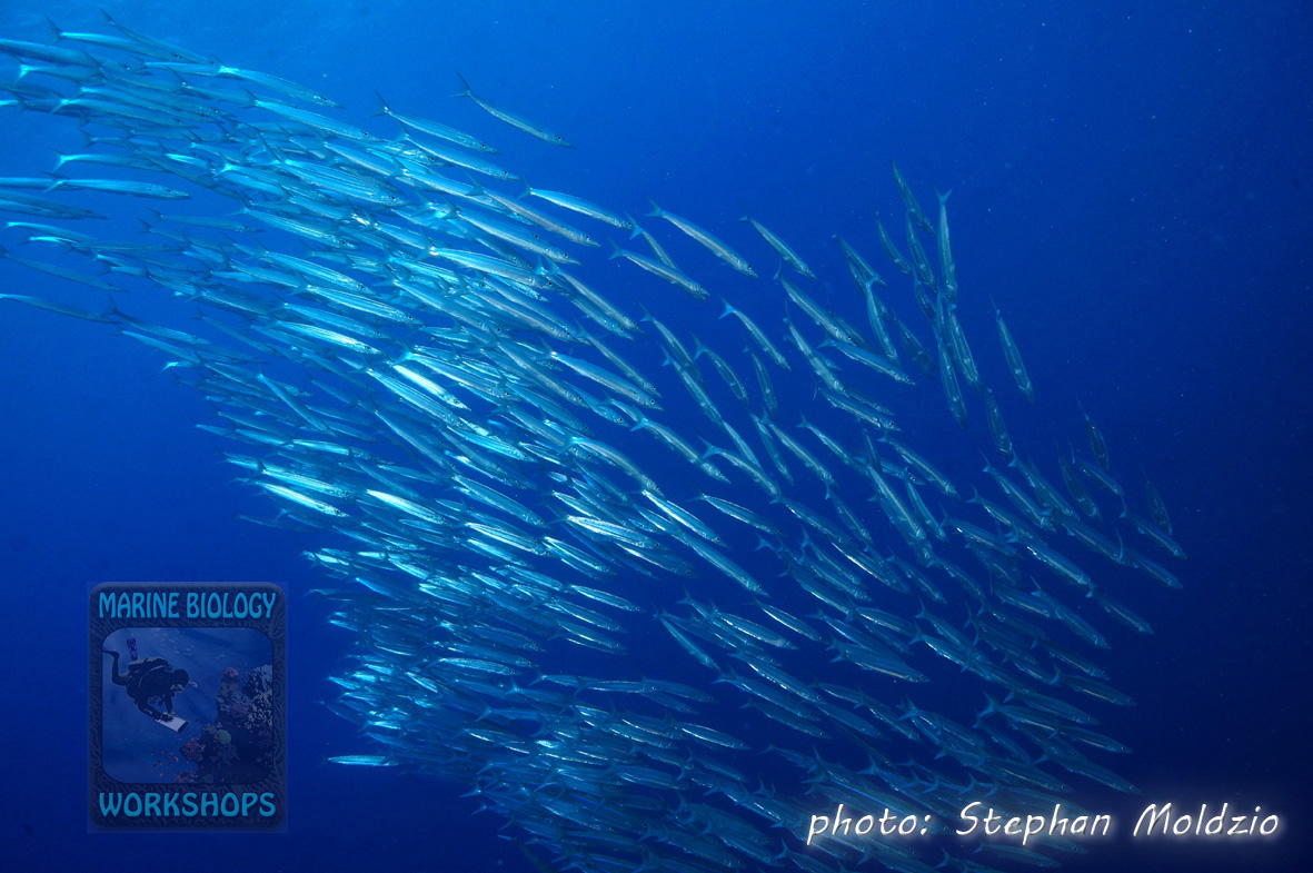 School of Barracuda (Sphyraena sp.)