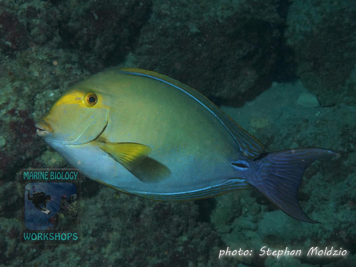 Yellowfin surgeonfish (Acanthurus xanthopterus)