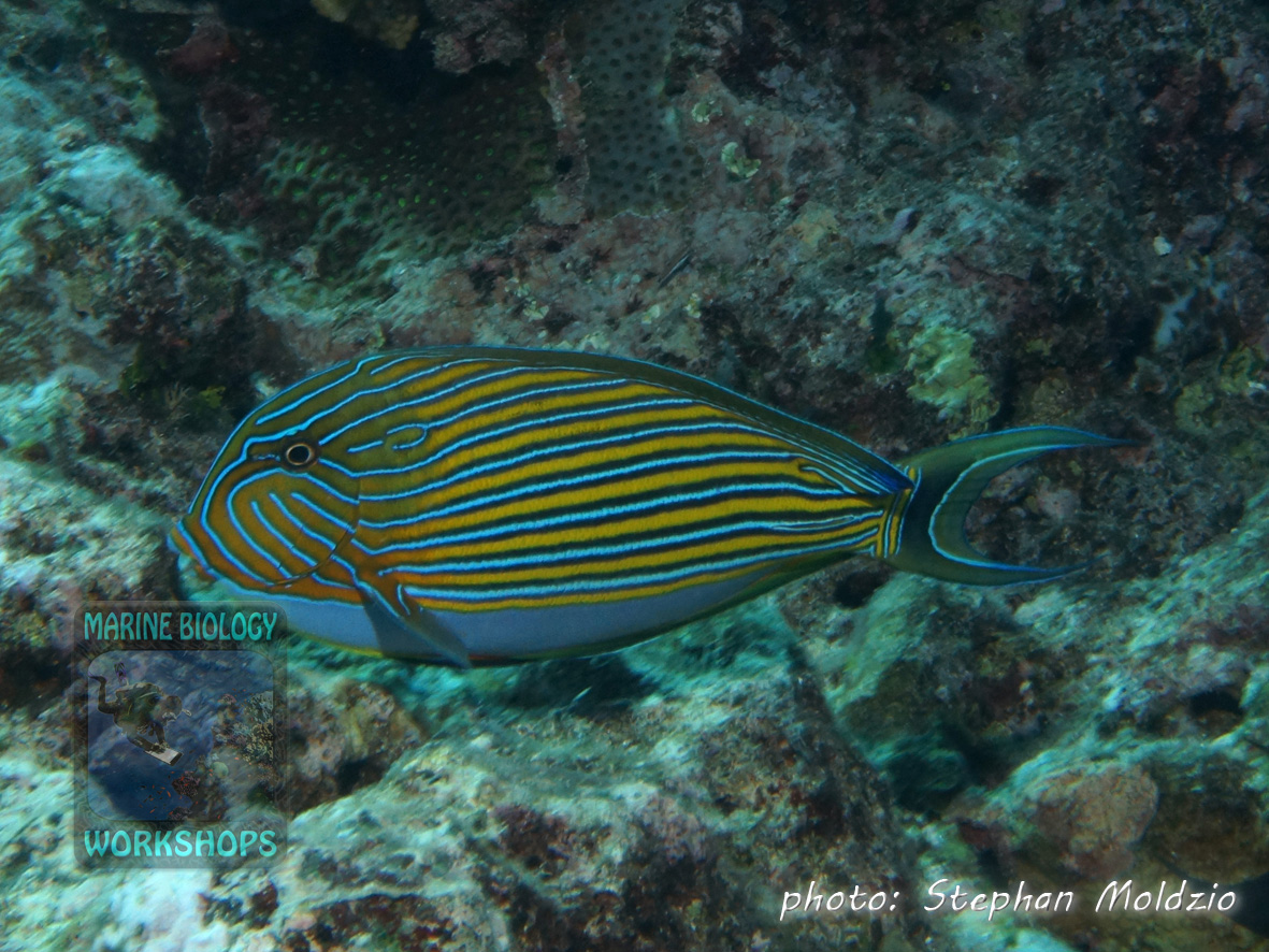 The Lined surgeonfish (Acanthurus lineatus) lives in shallow water on the reef flat