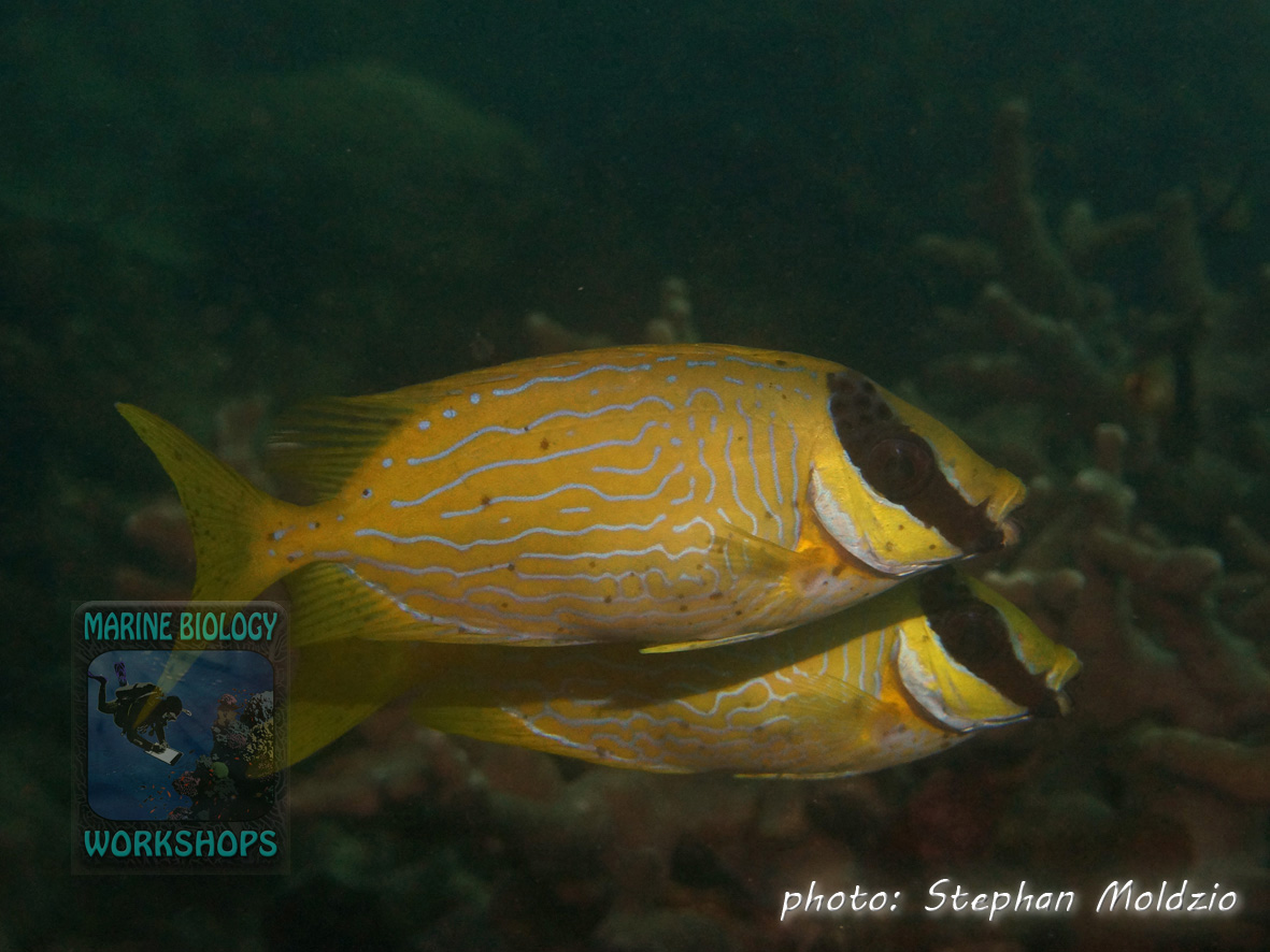 Masked spinefoot (Siganus puellus)