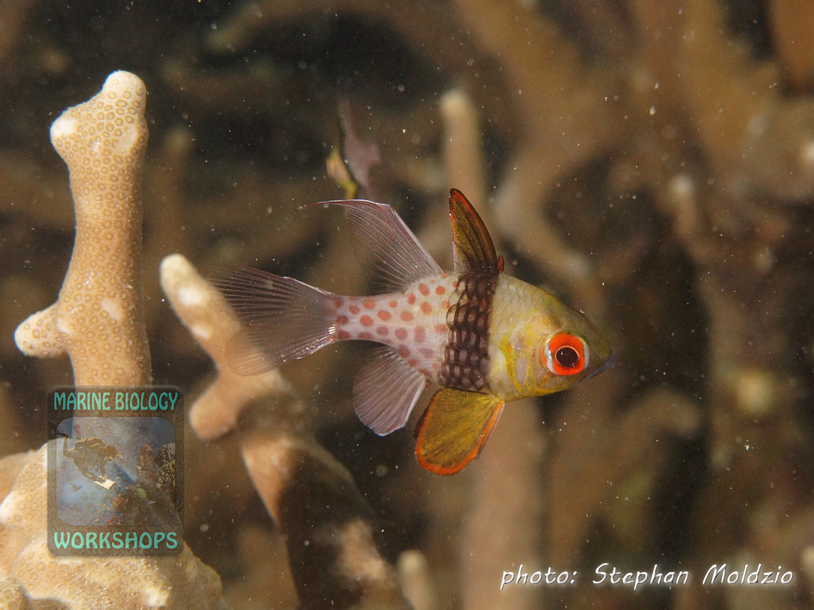 "Pajama cardinalfish (Sphaeramia nematoptera) inside the bay at dive site ""Slow and Easy"""
