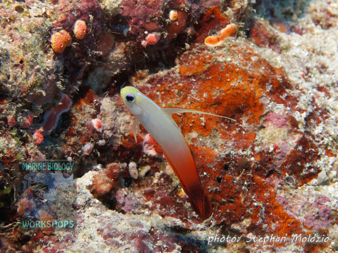 "Fire goby (Nemateleotris magnifica) at ""Yap Corner"""
