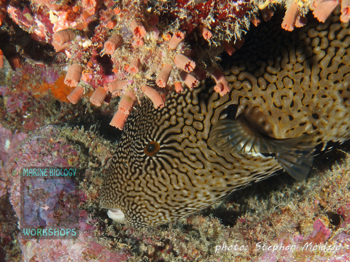 Map puffer (Arothron mappa) resting under an overhang. At night it will prey on hard-shelled invertebrates.