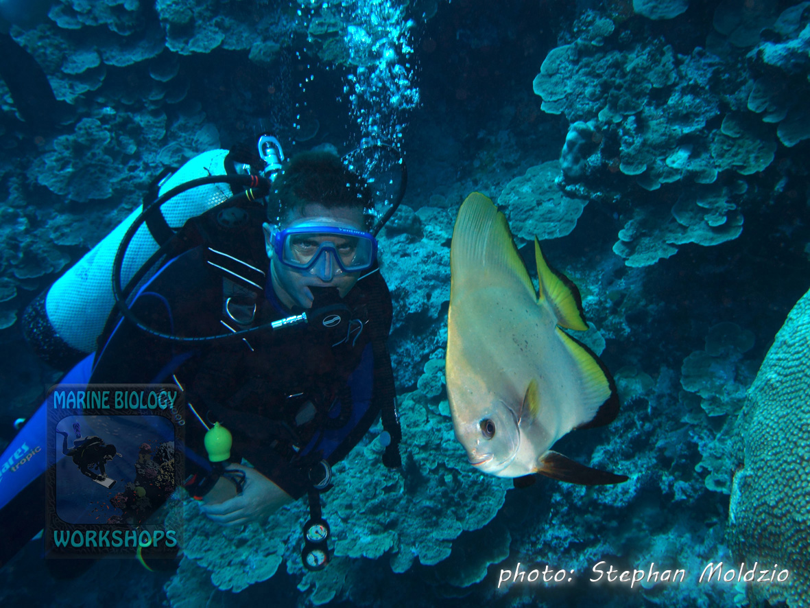 "This Golden spadefish (Platax boersii) followed us at ""O´Keefe´s passage"" for a long way."