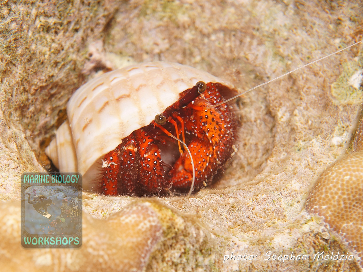 The White-spotted hermit crab (Dardanus megistos) rambles around at night, searching for food