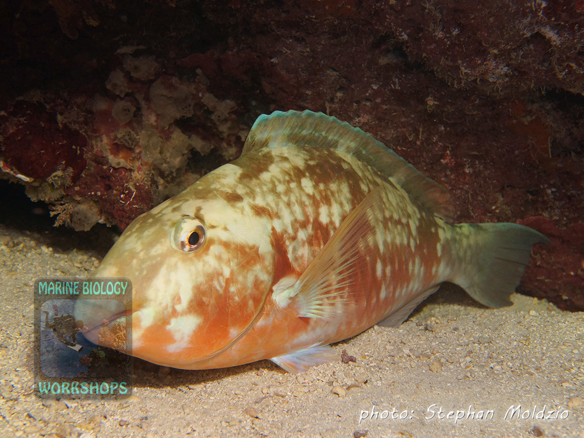 Sleeping Pacific longnose parrotfish (Hipposcarus longiceps)