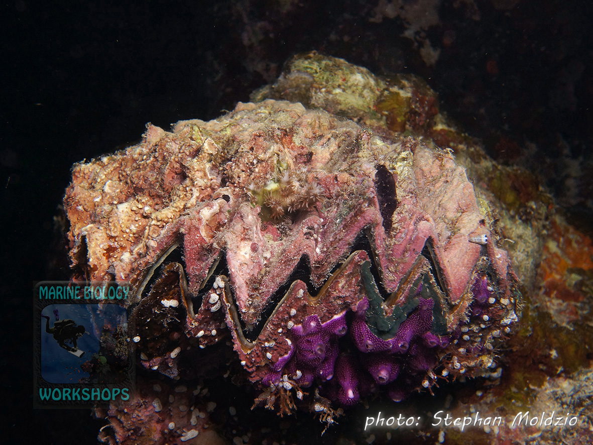 Honeycomb oyster (Hyotissa sp.) overgrown with coralline red algae, tunicates, sponges and coral