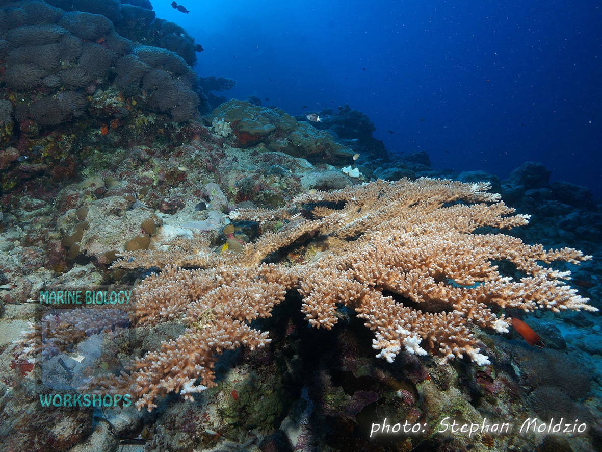 Acropora table coral