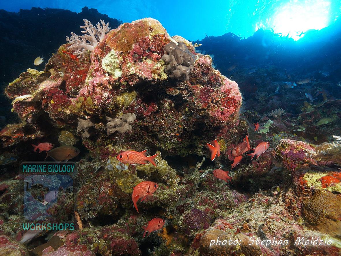 Soldierfish (Myripristis murdjan )