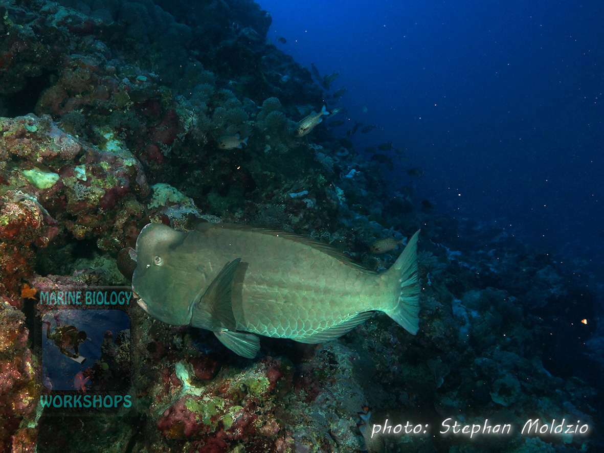 This Bumphead parrotfish (Bolbometopon muricatum ) came very close to us