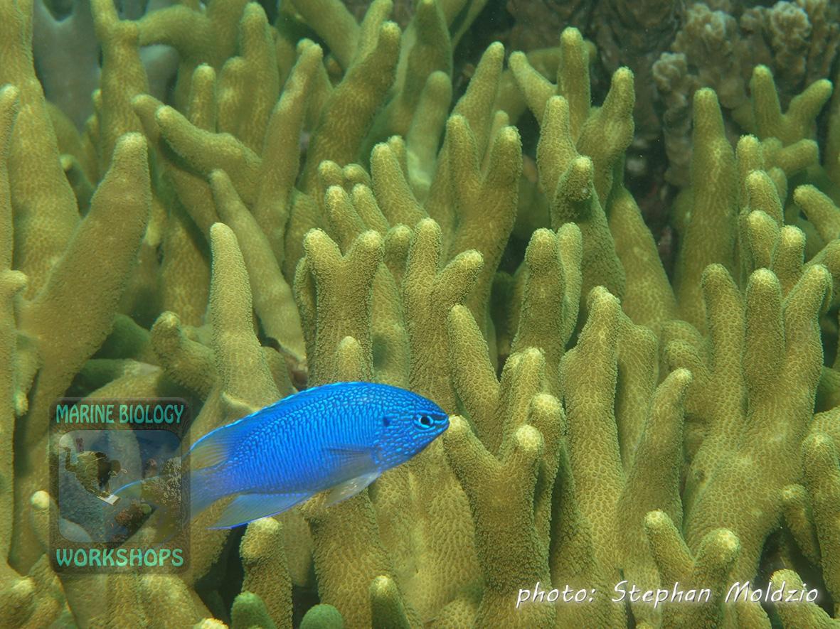 Sapphire damsel (Pomacentrus pavo) and branching hard coral (Porites sp.)