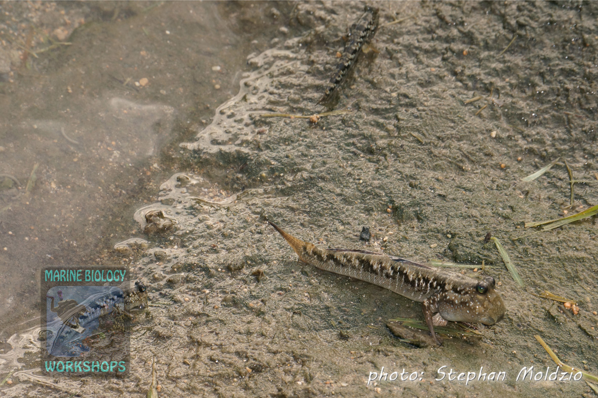 Mudskippers (Periophthalmus sp.)
