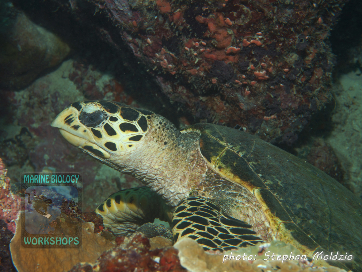 "Hawksbill Turtle (Eretmochelys imbricata) at ""Slow and Easy"""