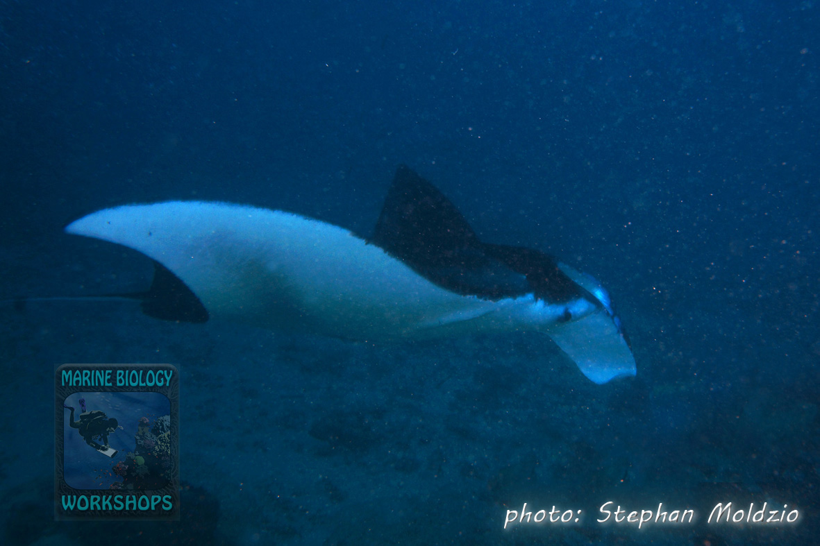 Reef Manta (Manta alfredi) swimming to the cleaning station at Goofnuw Channel