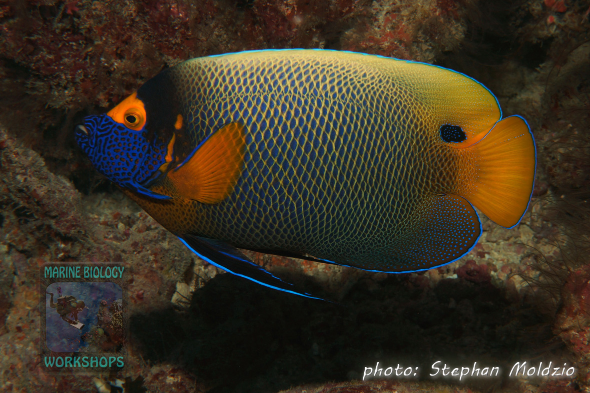 Yellowface angelfish (Pomacanthus xanthometopon)