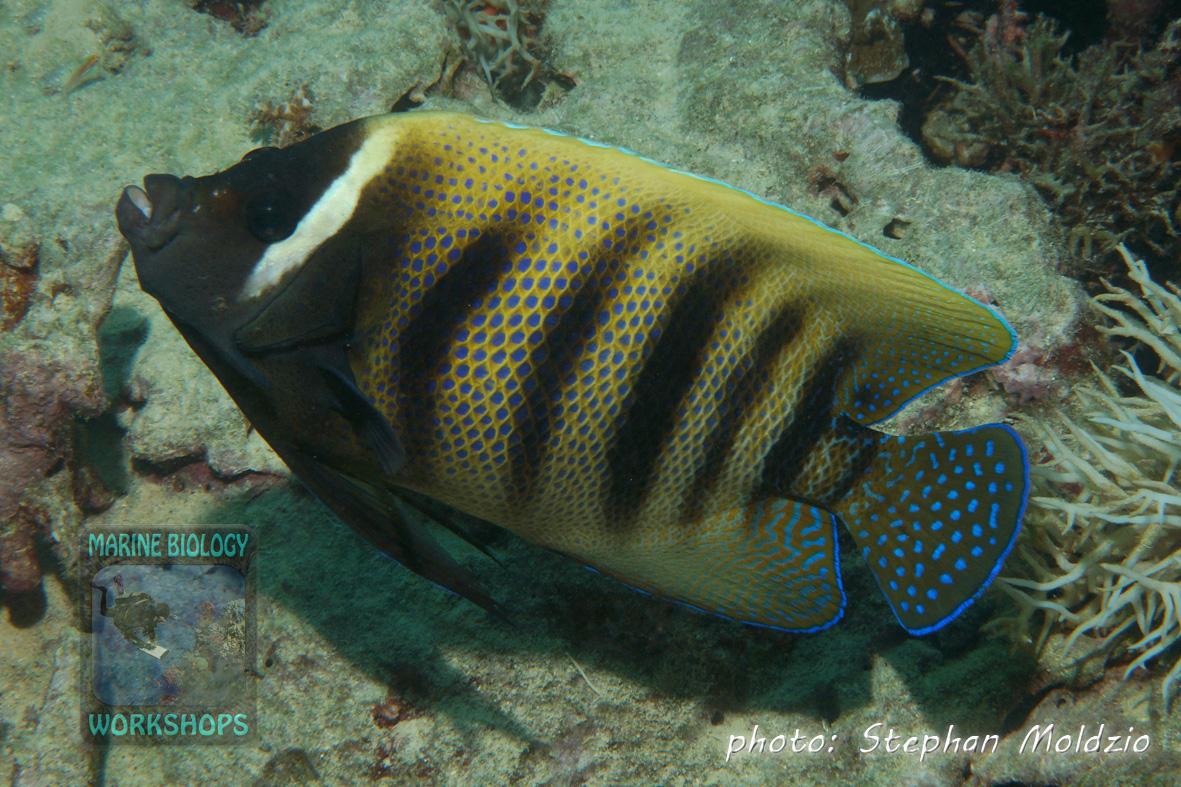 Sixbar angelfish (Pomacanthus sexstriatus)